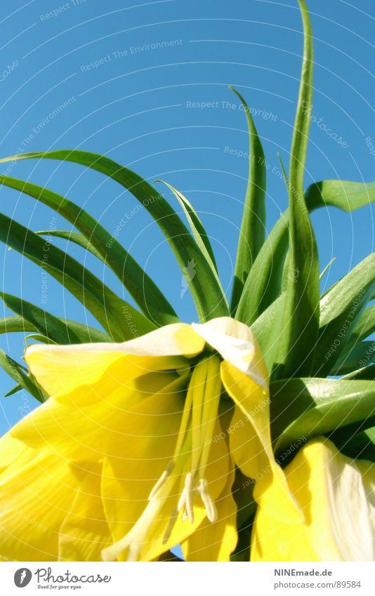 Glockenblümelie II grün blau schön Blume Sommer gelb Farbe Frühling Garten Wärme Zufriedenheit Perspektive Fröhlichkeit nah Physik heiß