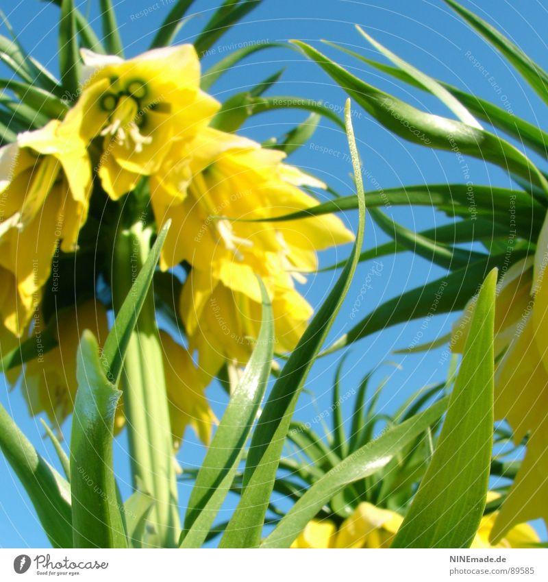 Glockenblümelie III grün blau schön Blume Sommer gelb Farbe Frühling Garten Wärme Zufriedenheit frisch Perspektive Fröhlichkeit Physik heiß