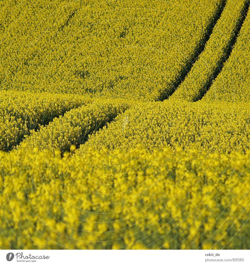 Gelbe Berg- und Talbahn gelb Raps Spuren parallel Feld Biodiesel Mitte Frühling nutzfplanze Geruch aufwärts abwärts berg- und Talbahn strich in der Landschaft