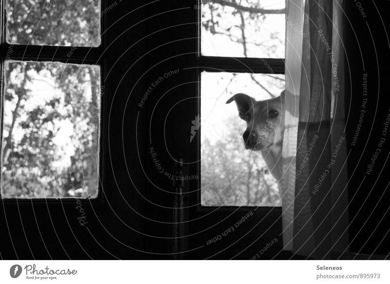 spielen? Raum Baum Tür Glastür Gardine Fenster Fensterscheibe Vorhang Tier Haustier Hund Tiergesicht 1 beobachten Neugier Tierliebe Schwarzweißfoto