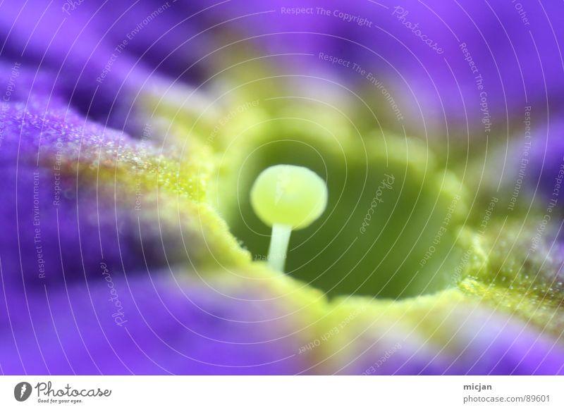 kuckuck ^^ Natur schön Blume grün Pflanze gelb Blüte Frühling klein Kreis Ecke Ball rund nah violett fallen