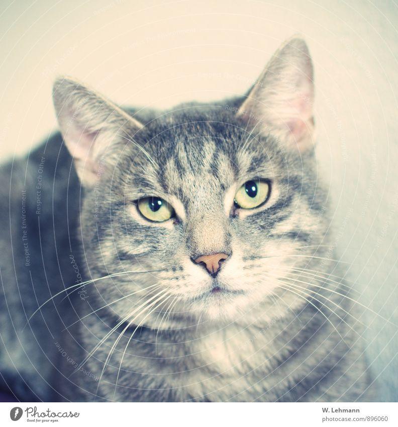 Käsekuchen...oder? Tier Haustier Katze 1 Tierjunges berühren Fressen füttern schlafen weich grau Stolz Liebe Hauskatze Herz Seele Farbfoto Innenaufnahme