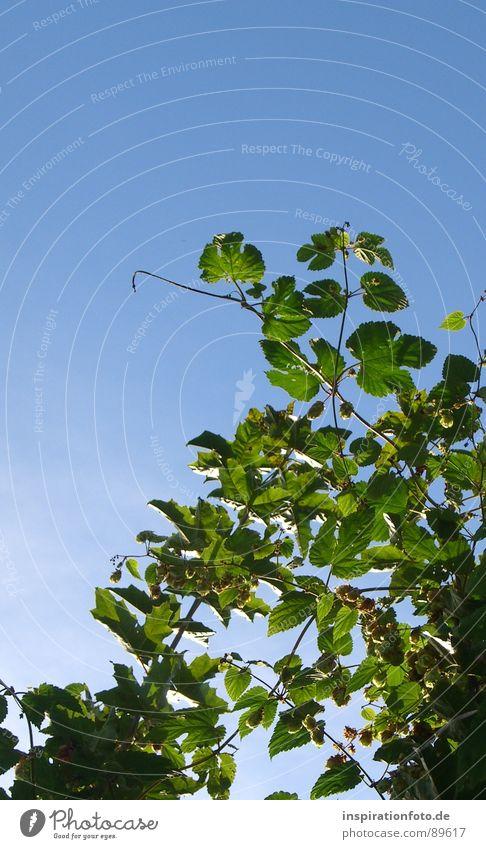 Biergarten Himmel blau grün Pflanze Blatt Frucht Sträucher Ast Zweig Hopfen