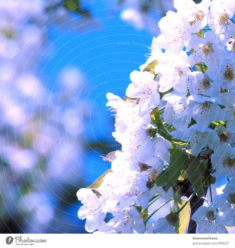 Onkel Willi's Kirschen - machs gut da drüben!!! Himmel weiß Baum Sonne blau Pflanze rot Ferne Leben Blüte Bewegung Frühling Luft hell braun Frucht