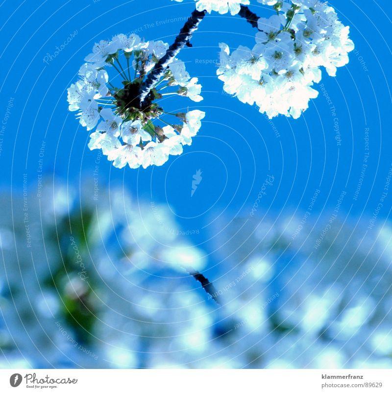 What a Wonderful World Blüte Fruchtblüte Kirsche Baum Obstbaum Sonne Pflanze Biene Hummel Hornissen Wespen duftig lecker Luft Windzug weiß rot braun