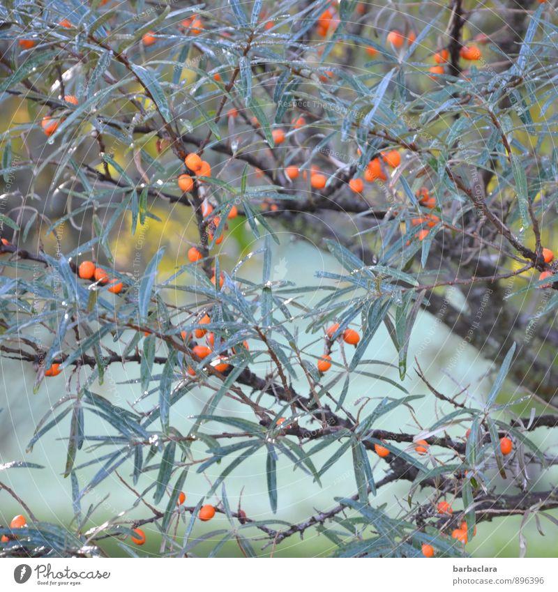 Sanddorn Lebensmittel Kosmetik Natur Pflanze Sonnenlicht Herbst Baum Sträucher Blatt Nutzpflanze Wildpflanze Beeren Garten Wachstum frisch viele blau orange rot