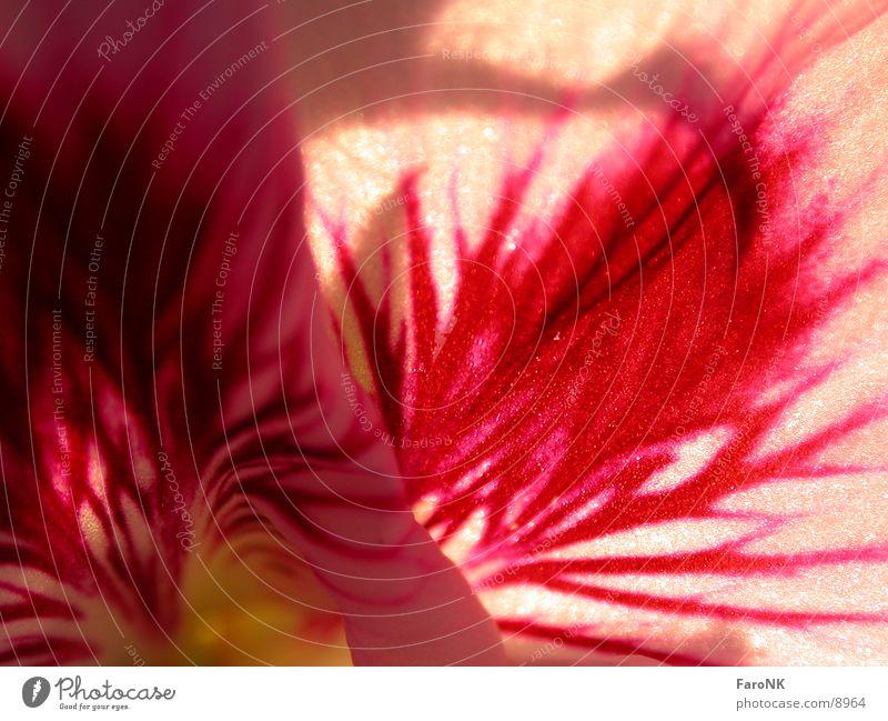 Geranie Pflanze rot Blüte Pelargonie