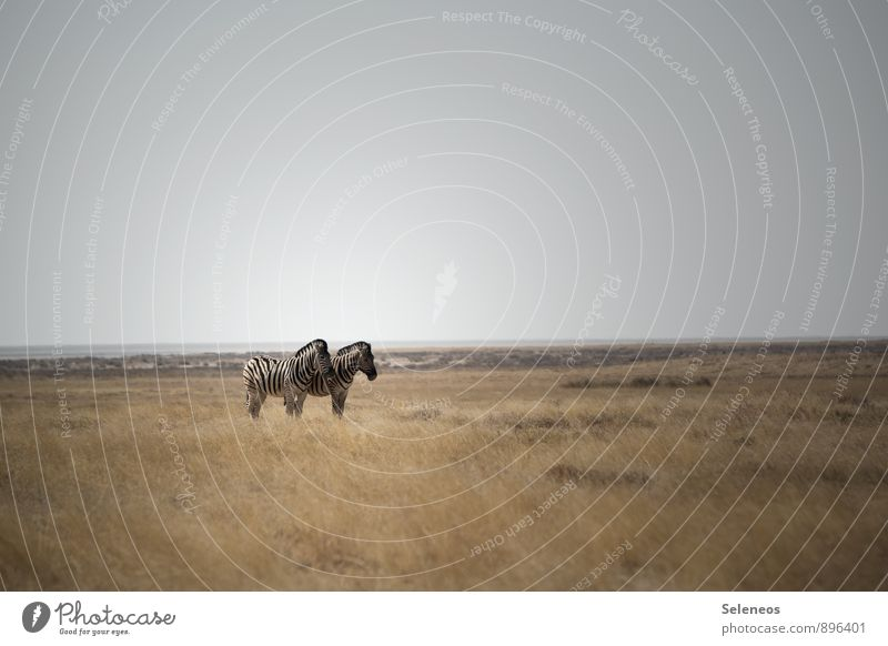zwei auf weitem Feld Himmel Natur Ferien & Urlaub & Reisen Sommer Sonne Landschaft Tier Ferne Umwelt Gras natürlich Freiheit Horizont Wildtier Tourismus