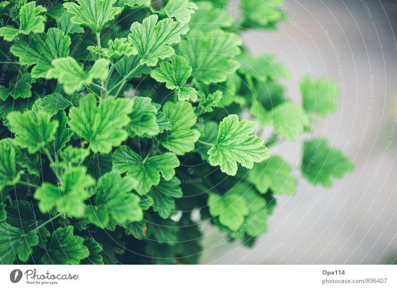 "Grün Grün Grüner Umwelt Natur Pflanze Tier Gras Sträucher Blatt Blüte Grünpflanze Nutzpflanze Garten Park Wiese Blühend grau grün ""Wachsen Gedeihen"