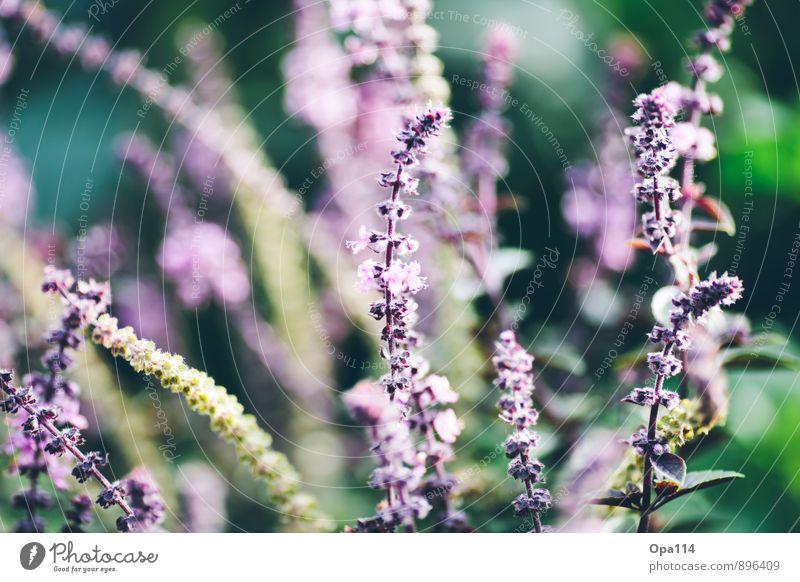 """Pink & Green Umwelt Natur Pflanze Tier Frühling Gras Sträucher Blatt Blüte Grünpflanze Nutzpflanze Garten Park Wiese Blühend Wachstum gold grün rosa """"Wachstum"""