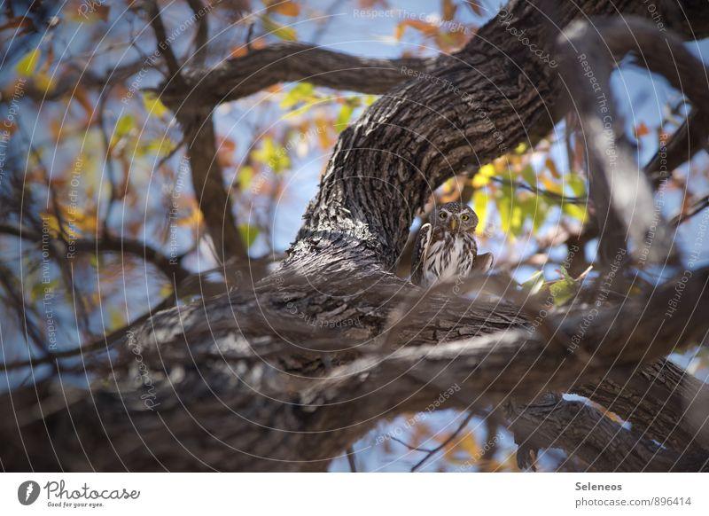 unter Beobachtung Safari Umwelt Natur Himmel Schönes Wetter Baum Ast Geäst Tier Wildtier Vogel Flügel Eulenvögel Kauz 1 beobachten klein natürlich Farbfoto