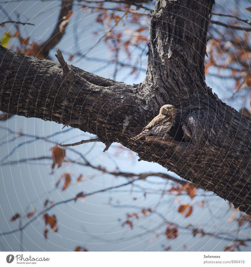 Frühstück! Ausflug Umwelt Natur Wolkenloser Himmel Herbst Baum Blatt Tier Wildtier Vogel Tiergesicht Eulenvögel Kauz 1 beobachten füttern klein Tierliebe
