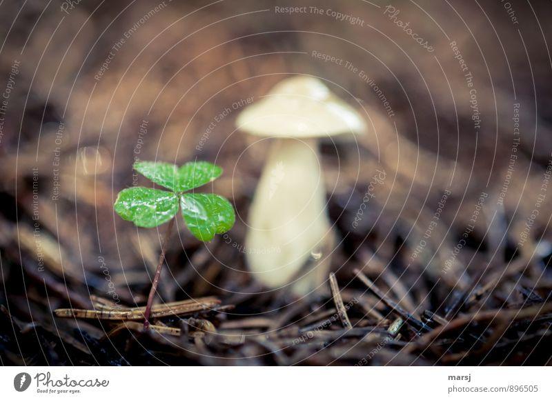 Glück gehabt, ... Natur Pflanze Grünpflanze Wildpflanze Kleeblatt Waldklee Pilz Waldboden dunkel dünn authentisch einfach Zusammensein nass braun grün