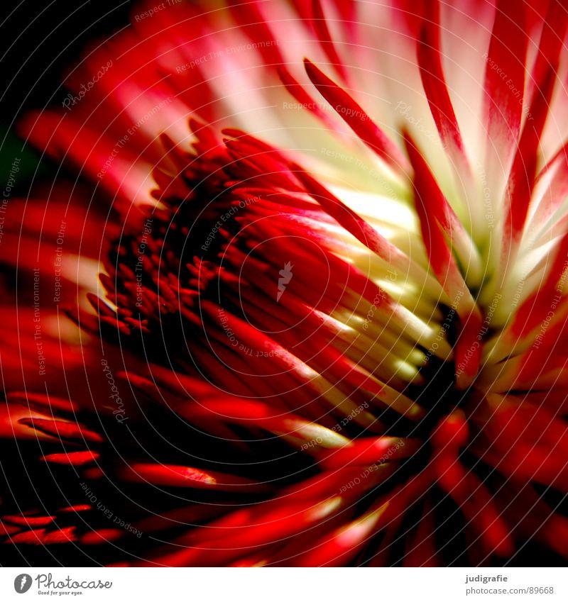 Tausendschön Gänseblümchen Blume Blüte Pflanze Wachstum gedeihen Blühend Blütenblatt weich rot weiß Makroaufnahme Nahaufnahme Frühling Natur Leben Spitze