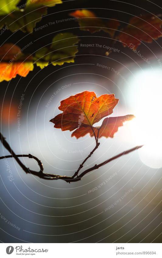 mornig sunshine Umwelt Natur Pflanze Sonne Herbst Schönes Wetter Baum Blatt Gelassenheit ruhig Weisheit Hoffnung Farbfoto Außenaufnahme Menschenleer