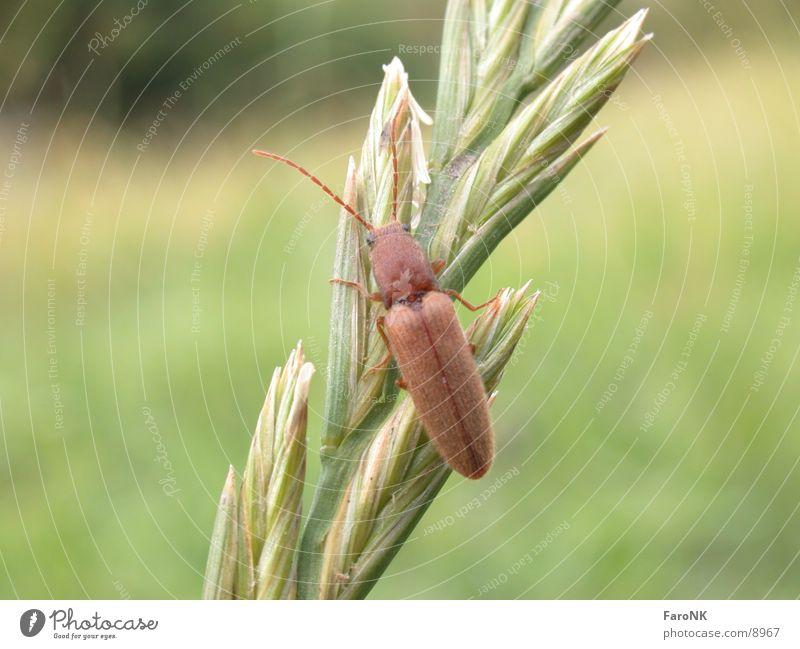 Käfer Insekt