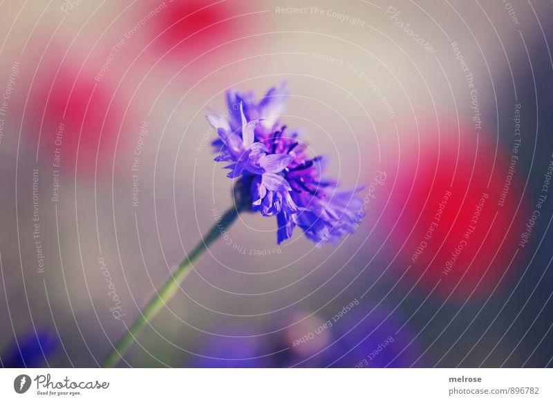 """Kornblume rot getupft Natur Pflanze Sonne Sommer Schönes Wetter Blume Blüte Zyane Flockenblume Korbblüter Mohnblume Wiese Feld """"Tupfen,"""" Punkte Hintergrund"""