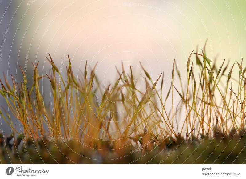 Sporophyten Leben Pflanze Erde Frühling Moos Spitze grün rot Lebewesen Stengel Sporenkapsel zart fein aufstrebend gerollt Nährboden Halt verankern Lichtspiel