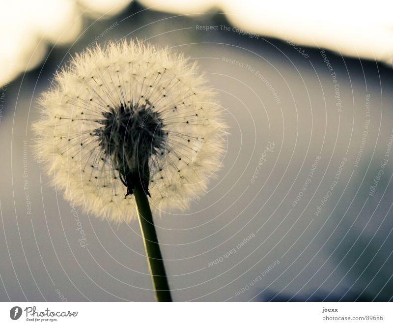 Schirmfliegertruppe Sommer Haus Wiese Stil Blüte Frühling Garten Vergänglichkeit Stengel Löwenzahn Samen Fortpflanzung Haarflieger