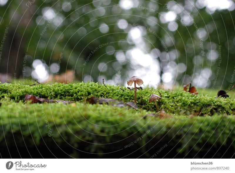 Damals...im Herbst Natur Pflanze Moos Pilz Pilzhut Moosteppich Wald stehen Wachstum klein lecker natürlich schön braun grün Lebensmittel Ernährung Giftpflanze