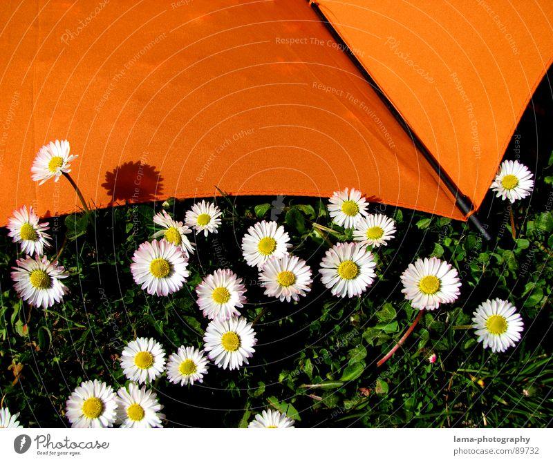 Umbrella meets Daisy Natur Blume grün Pflanze Sommer Wolken Farbe Erholung Wiese Gras Frühling Garten Regen Landschaft hell orange
