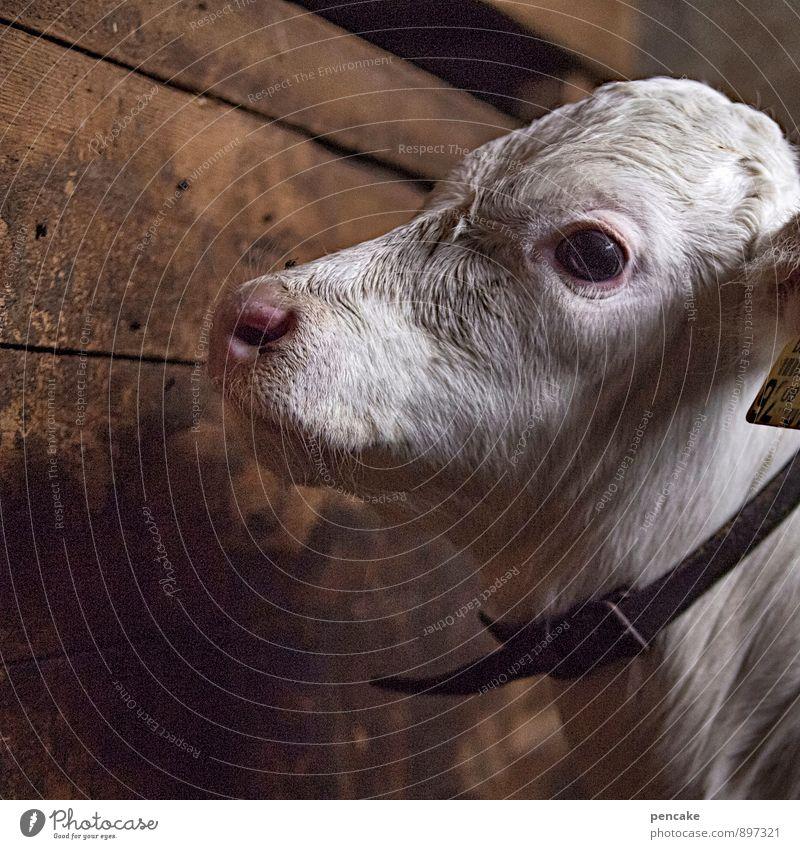calf with a mournful eye Tier Haustier Nutztier Kuh 1 Tierjunges Zeichen Gefühle Traurigkeit Trauer Tod Einsamkeit Leben Kalb Bulle weiß Stall Holzwand