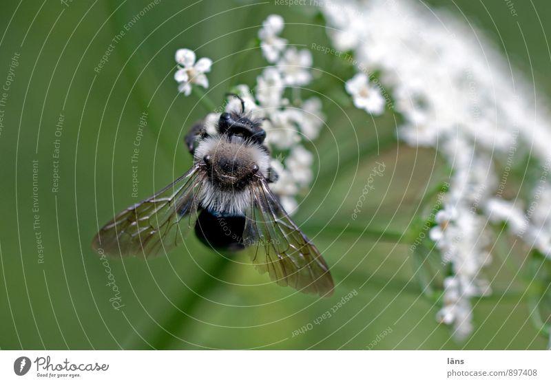 Weißröckchen Natur Pflanze Sommer Blüte Wildpflanze 1 Tier entdecken festhalten Fressen grün weiß Erwartung Leichtigkeit Insekt Doldenblüte Lebensmittel