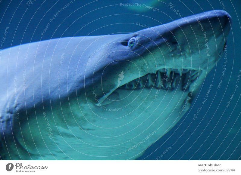 vorsicht bissig Aquarium Haifisch Dieb Mörder gefährlich Menschenfresser Meer Meeresfrüchte Meerwasser weiß Ungeheuer blau-grün weiß-blau Haigebiss gefangen