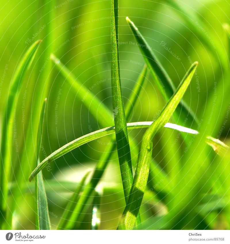 Grasgrün_01 Halm Stengel sprießen Pflanze einer unter vielen klein reduzieren Feld Einsamkeit Wachstum Unschärfe Frühling Frühlingsgefühle Wiese Nordwalde