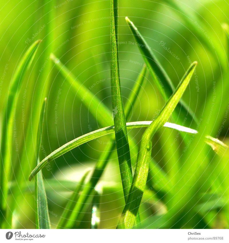 Grasgrün_01 Natur grün Pflanze Einsamkeit Wiese Gefühle Gras Garten Frühling klein Feld Wachstum Rasen Spitze Stengel Halm