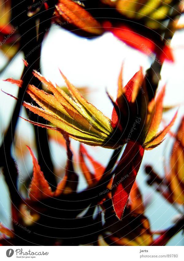 Farben der Welt Baum grün rot Blatt Ahorn Japanischer Ahorn