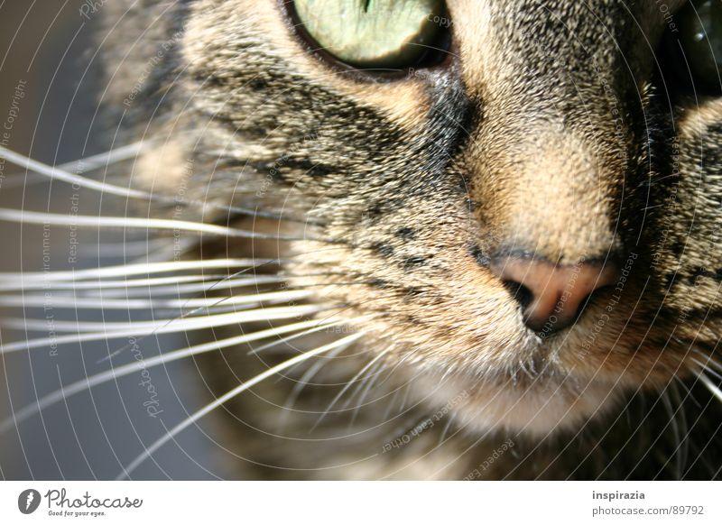 auf der Lauer Bewegung Haare & Frisuren Katze hell Fell Neugier Säugetier frech Maul Schnauze Hauskatze Barthaare Miau Schnurren Katzenauge Schnurrbarthaare