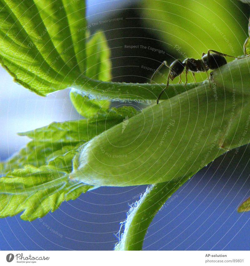 Ameise Waldameise Tier krabbeln Insekt klein winzig schwarz Schädlinge fleißig Arbeit & Erwerbstätigkeit Arbeiter grün Natur Makroaufnahme Shorts Nahaufnahme