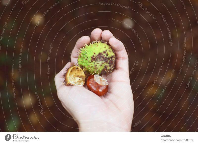 Achtung, piekst! feminin Hand Finger 1 Mensch 30-45 Jahre Erwachsene Umwelt Natur Herbst Grünpflanze Kastanie dehydrieren Wachstum stachelig braun grün Idylle