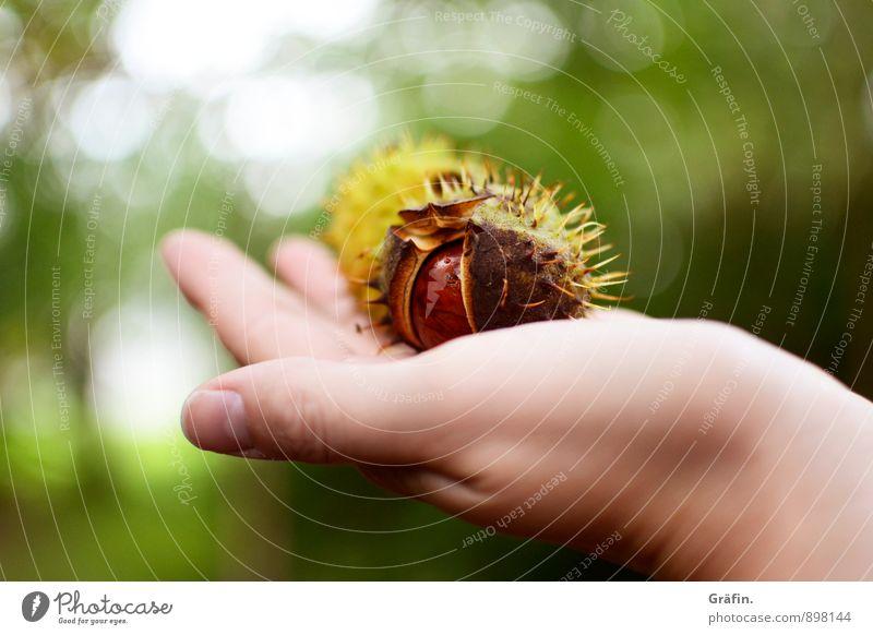 Goldener Herbst Umwelt Natur Pflanze Baum Kastanie Wald dehydrieren natürlich stachelig wild braun grün geduldig ruhig Neugier Umweltschutz Vergangenheit