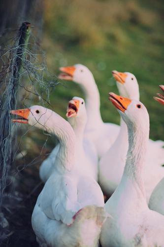 Bringt euch in Sicherheit! Jetzt wird's ernst... Ernährung Festessen Winter Feste & Feiern Weihnachten & Advent Umwelt Dorf Tier Nutztier Gans Tiergruppe