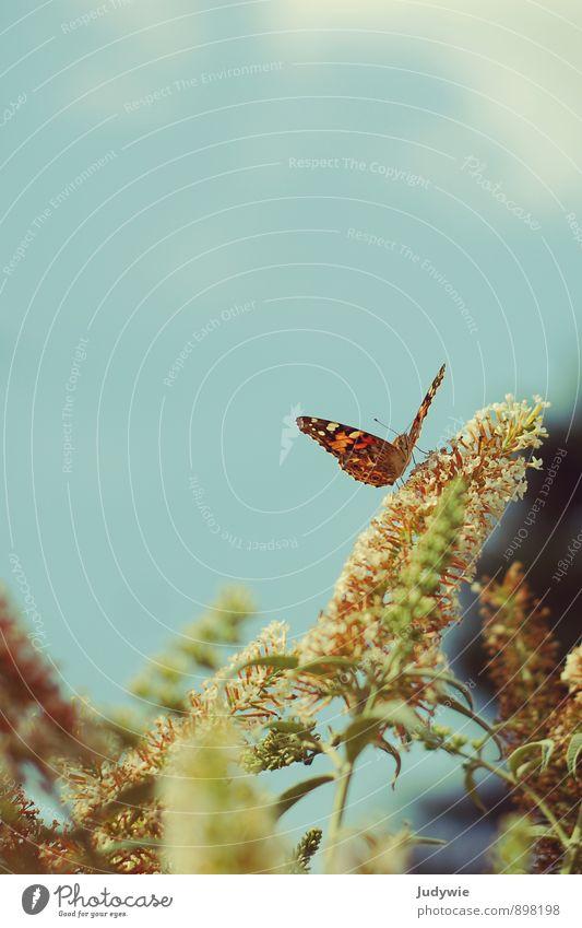 Kleiner Fuchs Umwelt Natur Himmel Frühling Sommer Schönes Wetter Pflanze Blume Sträucher Sommerflieder Garten Park Duft Erholung Essen fliegen krabbeln verblüht