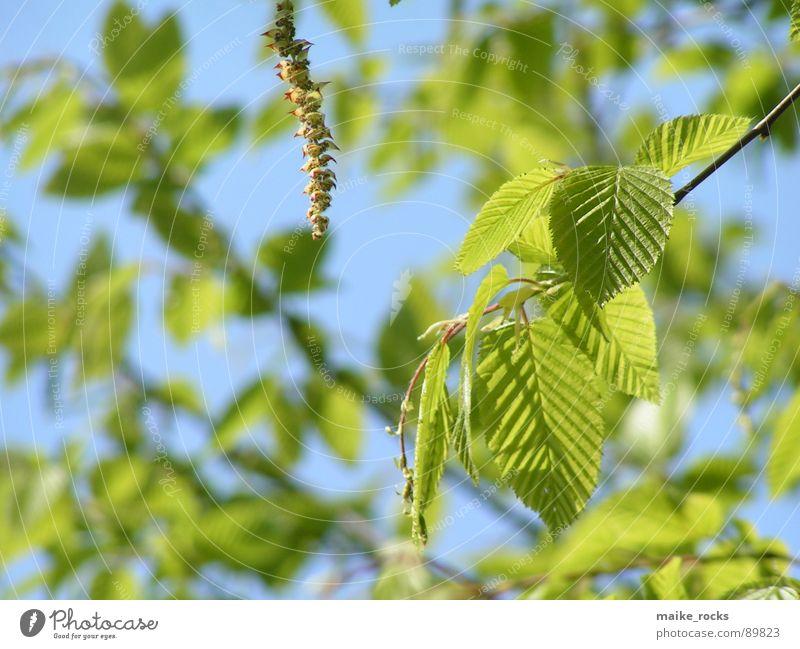 Es grünt so grün _1 Blatt Baum Frühling Jahreszeiten frisch Außenaufnahme Natur Farbe blau Ast Landschaft Zweig Leben Pflanze