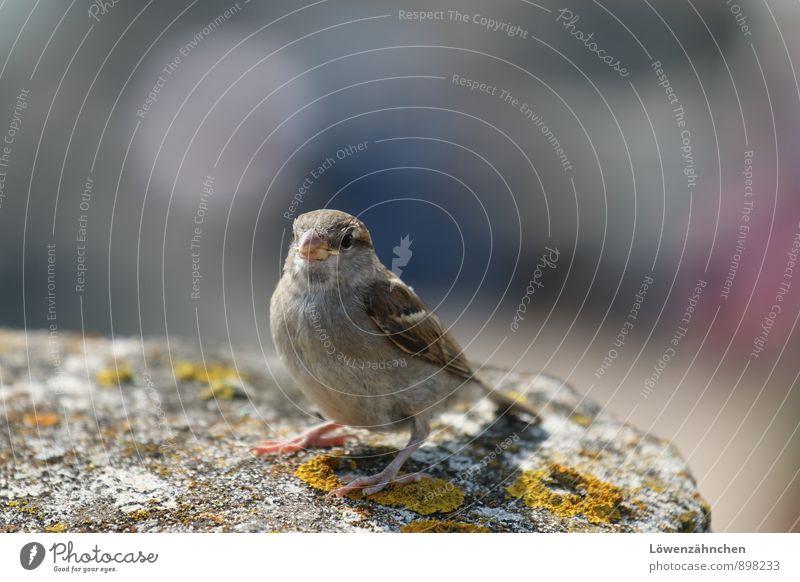Jack the Sparrow Flechten Wildtier Vogel Spatz 1 Tier Stein sitzen frech klein Neugier niedlich blau braun gelb grau rosa Leben Lebensfreude Vertrauen Farbfoto