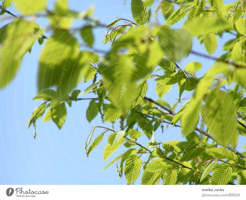 Es grünt so grün _2 Blatt Baum Frühling Jahreszeiten frisch Außenaufnahme Natur Farbe blau Ast Landschaft Zweig Leben