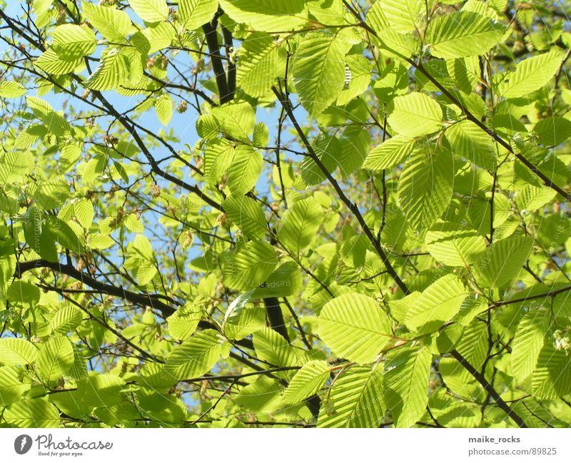 Es grünt so grün _3 Natur Baum blau Blatt Farbe Leben Frühling Landschaft frisch Ast Jahreszeiten Zweig