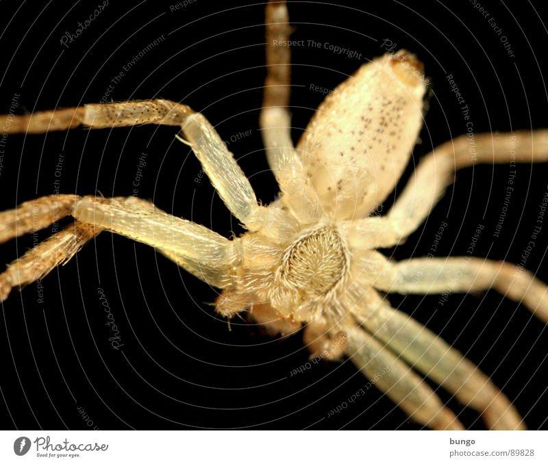Spinne von unten Auge Beine klein Angst Ekel Spinne Panik Gliederfüßer Mandibel Fresswerkzeug Kieferklaue