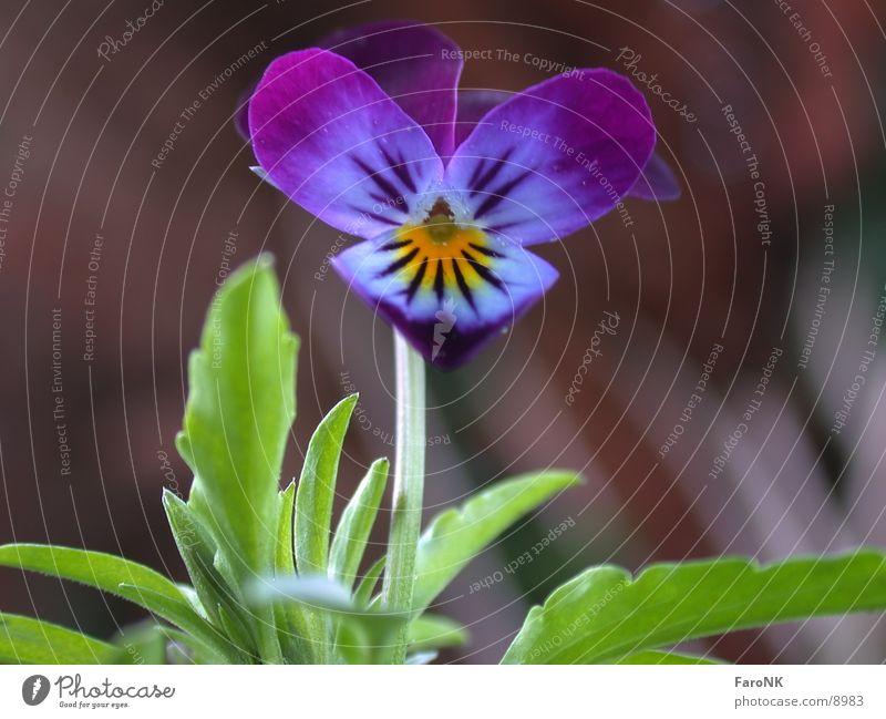 Stiefmütterchen Blume Pflanze Blüte
