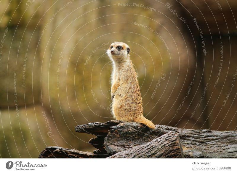 Erdmännchen Natur Tier Wildtier Tiergesicht Zoo 1 beobachten Denken entdecken Blick stehen lustig wild Wüste wüstentier Nagetiere surikat Manguste spion