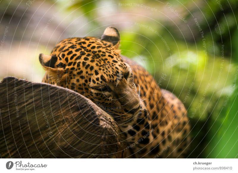 schlafender Leopard Katze Natur Erholung Tier liegen wild elegant Wildtier sportlich Fell Tiergesicht Zoo Aggression Tiger Landraubtier