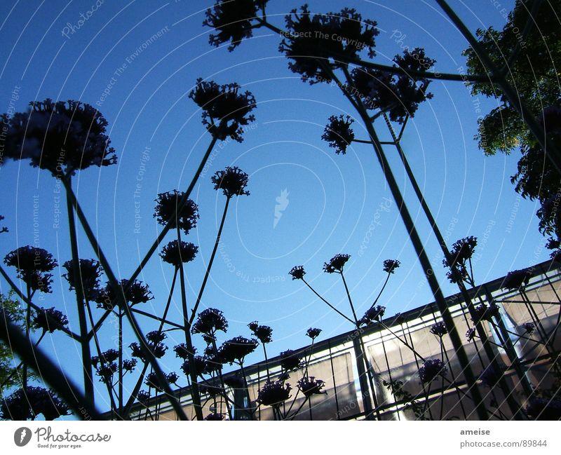 Aus der sicht einer Ameise Blume Gewächshaus Natur Himmel Blauer Himmel dunkel flowers Morgen dawn greenhouse light blau blue sky Glas glass sunshine dark