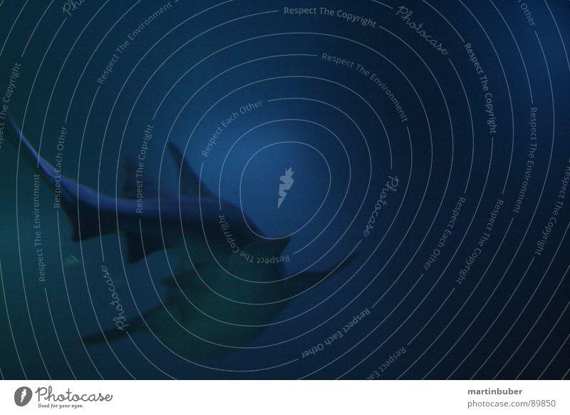 abgetaucht unten Tiefsee dunkel tief Aquarium Haifisch Dieb Mörder gefährlich Menschenfresser Meer Meeresfrüchte Meerwasser weiß Ungeheuer blau-grün weiß-blau