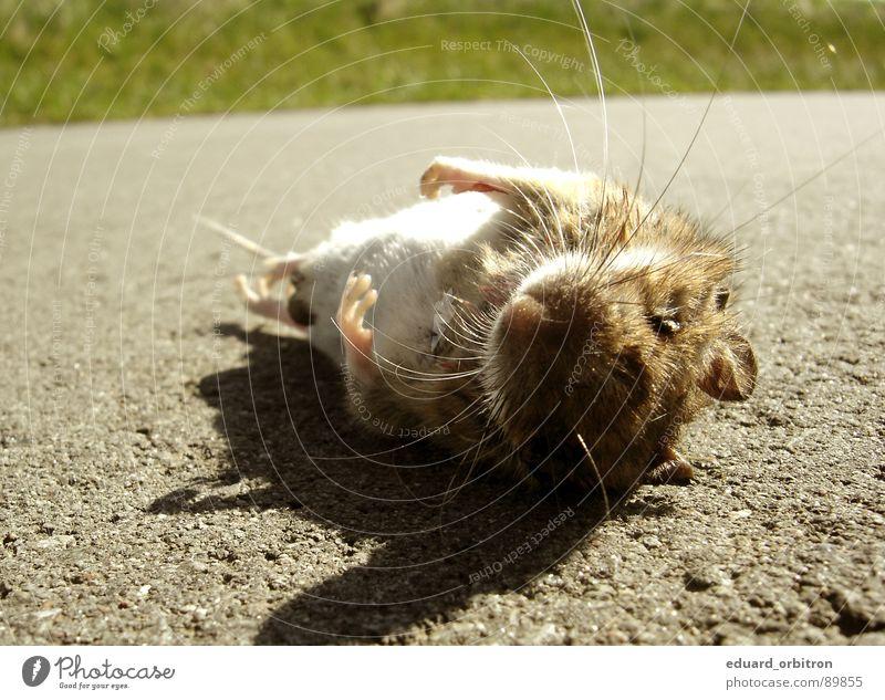 Mausetot Tier Straße Wege & Pfade Gras Tod klein liegen wild Bodenbelag Asphalt Fell Jagd Pfote Unfall Blut Maus