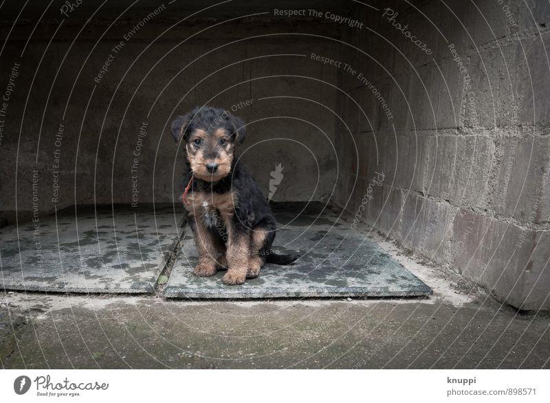 Welpe Industrieanlage Mauer Wand Tier Haustier Hund Fell Pfote 1 Tierjunges sitzen dunkel Fröhlichkeit Gesundheit klein nass feminin braun grau rot Airedale
