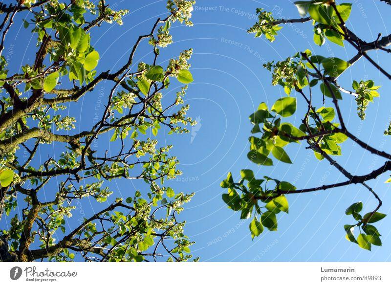 Frühlingsannährung Himmel Baum grün blau Ferien & Urlaub & Reisen Blatt leer Wachstum nah Ast Blühend gebrochen Zweig Lücke Rest